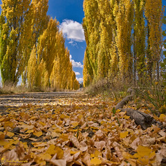 Primary Colours (southern_skies) Tags: autumn sunshine clouds australia nsw poplars goldleaves newenglandtablelands