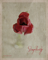 Simple Beauty (Denise @ New Mercies I See) Tags: flowers ohio red texture nature kitchen spring whisper dof single simplicity tulip processing summitcounty frameit mogadore nikond90 vintage1 kimklassen onethousandgifts vintagecompanion beyondlayers
