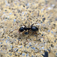 Black Ant (xebo.uk) Tags: cameraphone england apple yorkshire ant northeast teesside northyorkshire guisborough 4s tees iphone blackant iphone4s olloclip