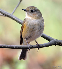 DSC_4423- Red-Flanked Bluetail(Female) (tune505) Tags: bird female korea seoul redflankedbluetail  mtgaewha