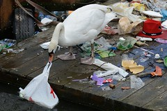 Swan and pollution-2 (johnaalex) Tags: bird netherlands amsterdam swan pollution nikkor1635mmf4gedvr d800e