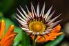 The Unfurling (David S Wilson) Tags: uk flowers england flower nikon ely fens 2012 lightroom flowersplants nikon1 june2012 davidswilson snapseed nikonft1 micronikkor40mmf28lens adobelightroom4