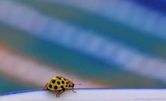 The Flat Earth Society.... (173-366) (nikkorglass) Tags: red summer macro cute home june yellow juni garden insect 22 nikon dof sweden bokeh fat small beetle climbing micro acrobatics ladybird ladybug sverige nikkor insekt f28 vr gul saucer 2012 hemma sommar trädgård röd d300 nyckelpiga coccinellidae söt liten 34mm skalbagge klättra 105mmvr nikkorglass creamspotladybird macrolife psylloboravigintiduepunctata theflatearthsociety gullhöna tjugotvåprickignyckelpiga 22prickars 22spotladybirdbug spottedlemonladybird