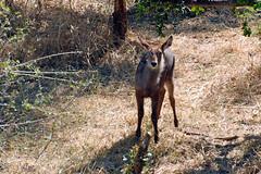Victoria Falls_2012 05 24_1677 (HBarrison) Tags: africa hbarrison harveybarrison tauck victoriafalls zimbabwe zambeziriver mosioatunya waterbuck taxonomy:binomial=kobusellipsiprymnus