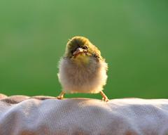 cute bird birdie finch hawaiian tropical
