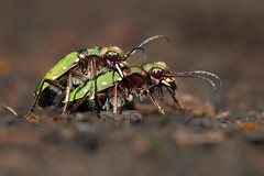 Green Tiger-beetle (Cicindela campestris) (Wildlife Photography by Matt Latham) Tags: macro nature canon bug insect tiger beetle southyorkshire cicindelacampestris greentigerbeetle mattlatham hatfieldmoor