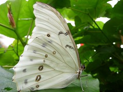 The white Lady.. (libra1054) Tags: butterfly papillon mariposa farfalla schmetterlinge