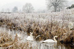 Mute Swans on the Montgomery Canal (Richard Becker Photography) Tags: winter wild tree bird ice nature water wales canal swan scenery europe frost european natural britain wildlife transport freezing environmental scene freeze environment british montgomery welsh icy mute waterway powys hoar wintry montgomeryshire cygnus olor berriew