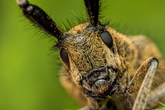 Longhorn portrait, a different perspective (steb1) Tags: macro insect beetle coleoptera longhornbeetle cerambycidae mpe65mm goldenbloomedgreylonghorn agapanthiavillosoviridescens