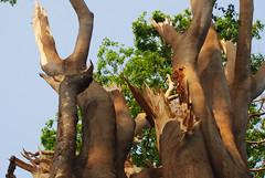 Broken tree at the campus (Saleh Reza) Tags: bird ecology university disaster imaging ru rajshahi pakhi