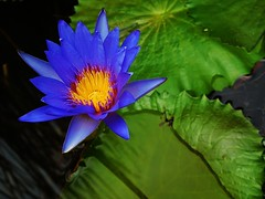 blue beauty (SM Tham) Tags: asia indonesia bali manggis alila resort hotel lobby pond waterlily flower leafpads water