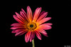 African Daisy (Ken Mickel) Tags: africandaisy colors floral flower flowers flowersplants plants blackbackground blossom blossoms closeup flora nature photography