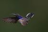 Violet Sabrewing, Campylopterus hemileucurus, Hummingbird (resourcehfh) Tags: 09may2012 basquedepaz campylopterushemileucurus costarica hummingbird multiflash violetsaberwing mikebaird