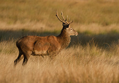 Red-Deer-4320 - Little bit of morning gold (Kulama) Tags: reddeer deer stag rutting nature wildlife land sunrise autumn autumncolours canon7d sigma150600c563