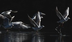 MRC_4037 Patos y Gaviotas @ 75m (Obsies) Tags: patos gaviotas seagull lake laguna cangas morrazo ducks sigma300800 sigmonster nikon nikond500 zenelli naturaleza nature openair airelibre