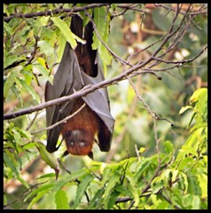 Bat in neighbourhood tree (indianature13) Tags: nature indianature wildlife mumbai bombay city urban india maharashtra october 2016 bat mammal citybat fruitbat flyingfox