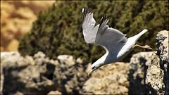_DSC1292 (Valber78) Tags: mouette nikon5500 seabird oiseau birds