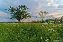 Summer Oak after Thunderstorm (Sigurd R) Tags: tree norway norge oak nikon sigma polarizer tre 1020 umb eik d90 eika ås