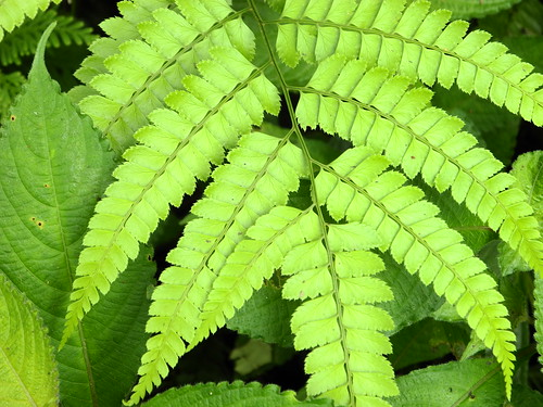 Green Ferns  (by Queenie)