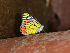 Brightness of Sunshine (SivamDesign) Tags: macro fauna canon butterfly insect eos rebel kiss x4 550d commonjezebel deliaseucharis t2i canonefs18135mmf3556is