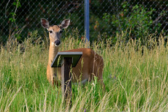 Doe Learning DSC_3217 by Mully410 * Images