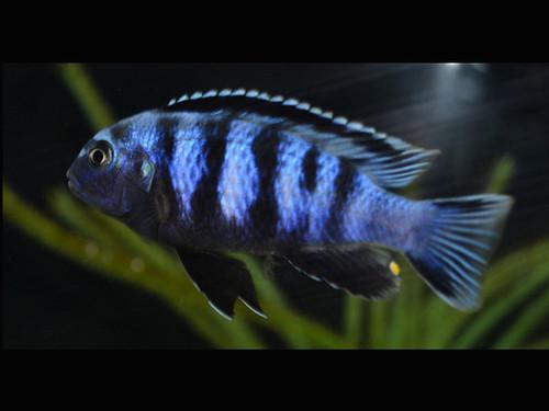 Pseudotropheus saulosi Taiwan Reef