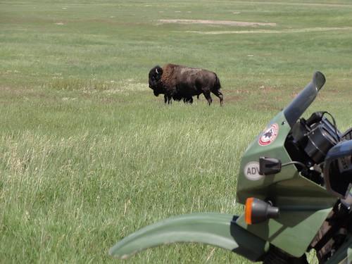 Badlands national park bison