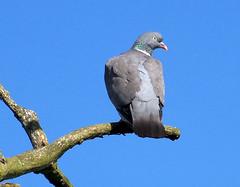Out on a limb (billnbenj) Tags: bird pigeon cumbria barrow woodpigeon