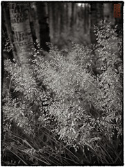 Summer Grass II (doug_r) Tags: blackandwhite bw blancoynegro washington issaquah blancetnoir summergrass pickeringfarm p1020448 pacificaphotography panasonicgf1 leica20mmf17 2011rosenoffphotographyllcallrightsreserved 20110628 20110628p1020448jpg bwconvagefxagfa125yellowgreentemp90at90ptpt