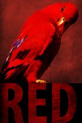 Red (nathaliehupin) Tags: red bird rouge oiseau cambroncasteau photographebruxelles nathaliehupin pairidaiza photographeluxembourg juin2011 photographehainaut photographenamur photographeliege photographemons photographebelgique wwwnathaliehupinbe wwwnathaliehupingraphismebe