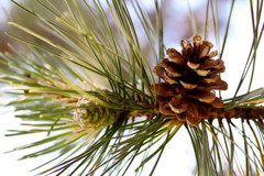 Pinecone (BarbaraCZ) Tags: pinecone 2652 msh0711 beyondbokeh 52won msh071112