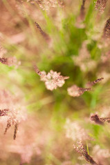 183/365 :: Saturday, July 2 (mother.of.pearl) Tags: plant grass fuzzy bokeh july blowing breeze ornamental project365 nikond90 lightroom3 project36612011 3652011