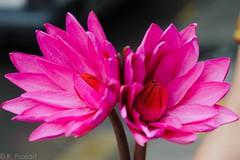Water Lilies (Roy Prasad) Tags: california travel pink summer vacation usa india holiday flower macro zeiss t spring nikon dof waterlily lily bokeh bangalore bloom makro prasad planar 2100 carlzeiss makroplanar bengaluru d700 zf2 royprasad