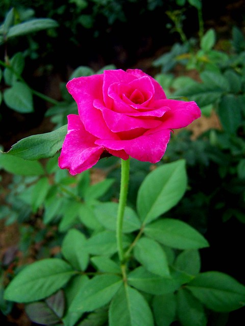 rose17