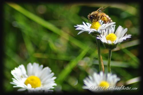 182-365 Bee upon a daisy