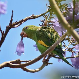 Parakeet plucking Jacaranda blossoms