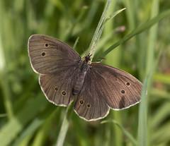 Ringlet butterfly (Aphantopus hyperantus), Brandon Marsh, Warwickshire 05Jul11 (Lathers) Tags: brandon warwickshire nbw ringletbutterfly aphantopushyperantus canonef300mmf4lisusm canon7d wildinthemidlands wkwt 05jul11