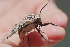 #112:366 (Lee Saboro) Tags: blue white black macro nature animal bug giant insect hand pentax michigan circles tiger moth leopard ricoh restarea kx ecpantheriascribonia