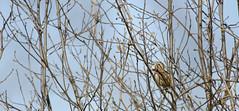 Calling all ladies (sgtsalamander) Tags: cambridge sky bird nikon branch singing song sparrow twig shrub nikkor songsparrow melospizamelodia 300f4 d7000 rarecharitableresearchreserve