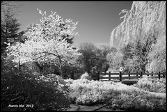 Infrared Cherry Blossoms in Minoru Park - IR Cherry X0463e (Harris Hui (in search of light)) Tags: longexposure canada monochrome vancouver cherry ir mono blackwhite spring fuji bc blossoms richmond infrared fujifilm cherryblossoms digitalbw pointshoot hoya x10 springblossoms r72 infraredphotography digitalcompact irbw invisiblelight hoyar72filter harrishui vancouverdslrshooter fujix10 fujixseriescamera ircherryblossoms