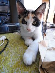 olivia (deadoll) Tags: morning pet cats sun sol animal cat fur kitten kat kittens gato gata felino kit pur babycat catnipaddicts
