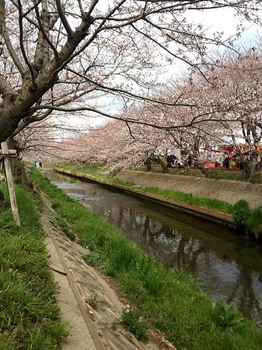 海老川ジョギングロードのサクラ Cherry Blossoms