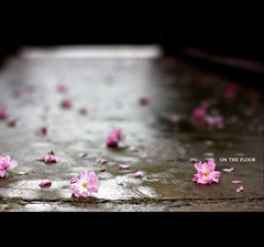 You're not drunk if you can lie on the floor without holding on. (*karla) Tags: pink flower wet rain canon cherry 50mm dof floor blossom bokeh ilovetherain