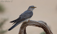 common cuckoo -  () Tags: male bird birds bin sultan common cuckoo qatar     wachers       lesnafi