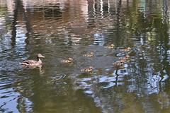 Mrs. Duck and Her Ducklings (The Spirit of the World) Tags: nature birds reflections duck pond wildlife fowl mallardduck thegalaxy femaleduck avianexcellence mallardducklings motherduckwithducklings allnaturesparadise allofnatureswildlifelevel1 rememberthatmomentlevel1 motherduckducklings