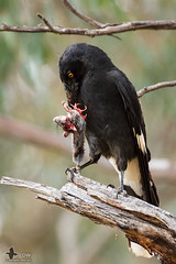 Pied Currawong (duffohyeah) Tags: birds mouse australia redhill canberra currawong australiancapitalterritory piedcurrawong streperagraculina redhillnaturepark