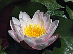 La mia prima ninfea! (antonè) Tags: sardegna flores flower fleur rana sassari ninfea pianteacquatiche fiordiloto antonè rememberthatmomentlevel1