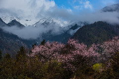 (zhouyousifang) Tags: china landscape spring tibet    peachblossom 2014   linzhicity