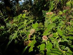 Begonia sp., Begoniaceae (Ecuador Megadiverso) Tags: naturaleza flower macro southamerica nature fleur ecuador flora wildlife natur flor begoniaceae equateur blume makro fiore equador biodiversity biodiversidad sdamerika neotropical begoniasp neotropics andreaskay