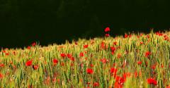 a veces.... (Viki-s) Tags: red primavera spring rojo poppies vermell catalunya bages amapolas elmeupoble pippiripips